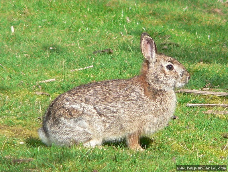 Leporidae tavşanı leporidae tavşanıleporidae resim