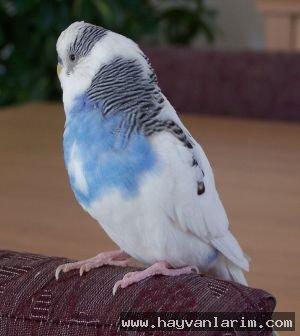 Mavi beyaz güvercin resmi