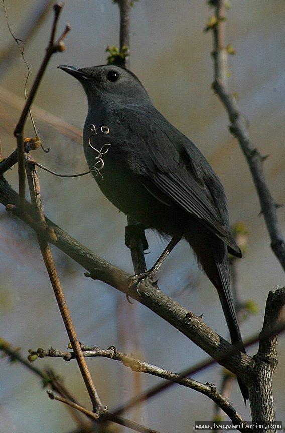 Mimidae kuşu