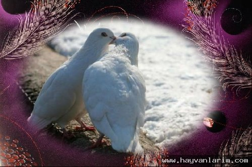 Öpüşen kuşlar