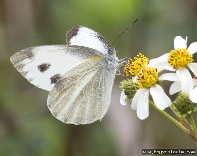 Pieridae kelebeği