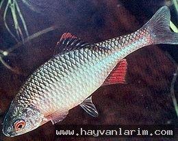 Rhodeus balık resimleri