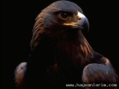Şahin Kuşu