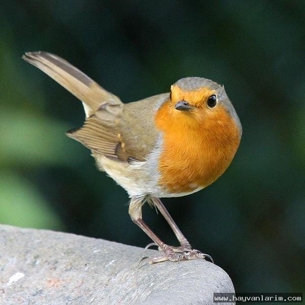 Sarı gagalı kuş resmi