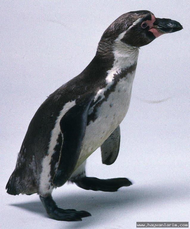 Spheniscus humboldti penguen