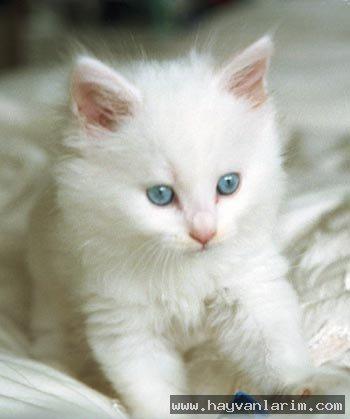 Van kedisi Yavrusu