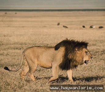 wahşi Panthera leo