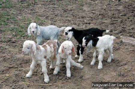 Yavru keçiler