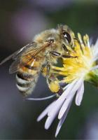 Arılarda Çiftleşme Videoları