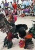 Horoz  dövüşleri