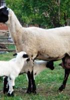 Sakız koyunu