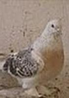 Sandıklı güvercinleri