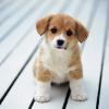 Yavru Köpek Resimleri