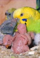 Muhabbet Kuşlarında Çiftleşme