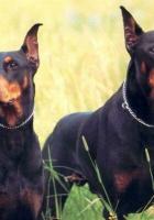 Doberman köpek resimleri