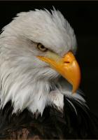 Kartal kuşu