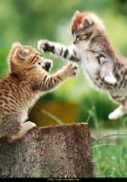 Kavga eden kediler