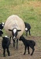 romanov koyunu