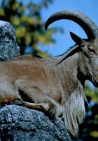 Ak dağ keçisi resimleri