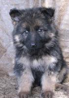 Alman çoban köpeği