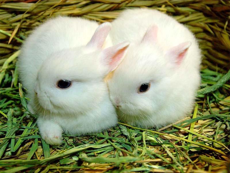 Iki Tavşan Resmi Hayvanlar