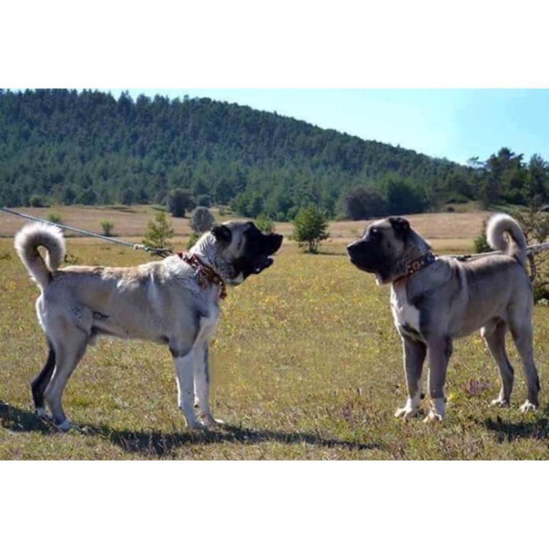 Kangal ve Kangal Yavruları