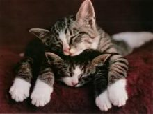Uyuyan Tekir kediler