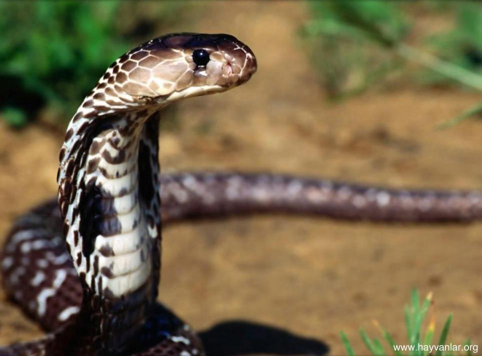 Kobra-Yılanı_6