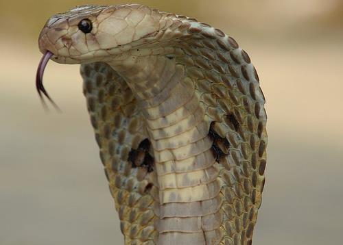 Kobra-Yılanı_9