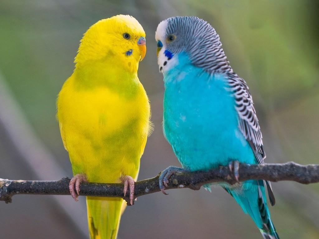 Muhabbet Kuşları Kanatlı Hayvan Türleri Hayvanlar