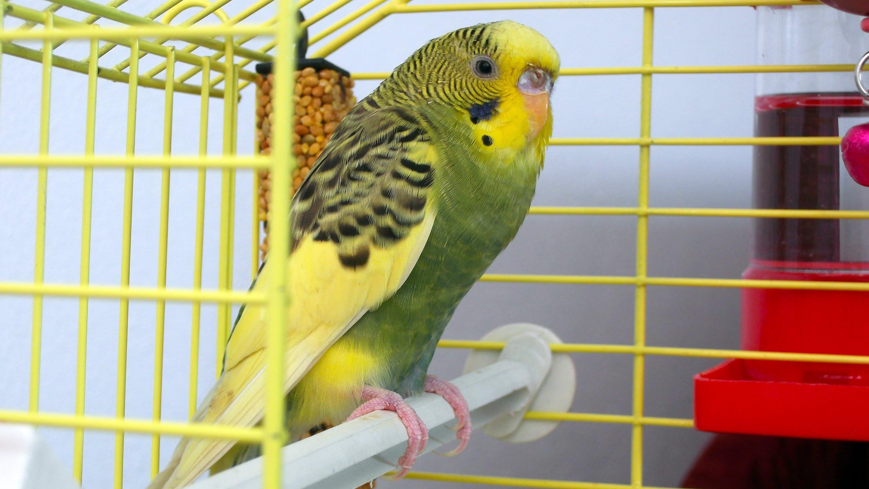 Muhabbet-kuşları_2