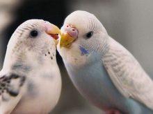 Muhabbet kuşları_3.jpg