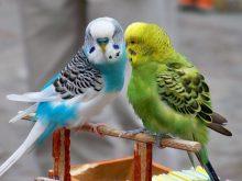 Muhabbet kuşları_4.jpg