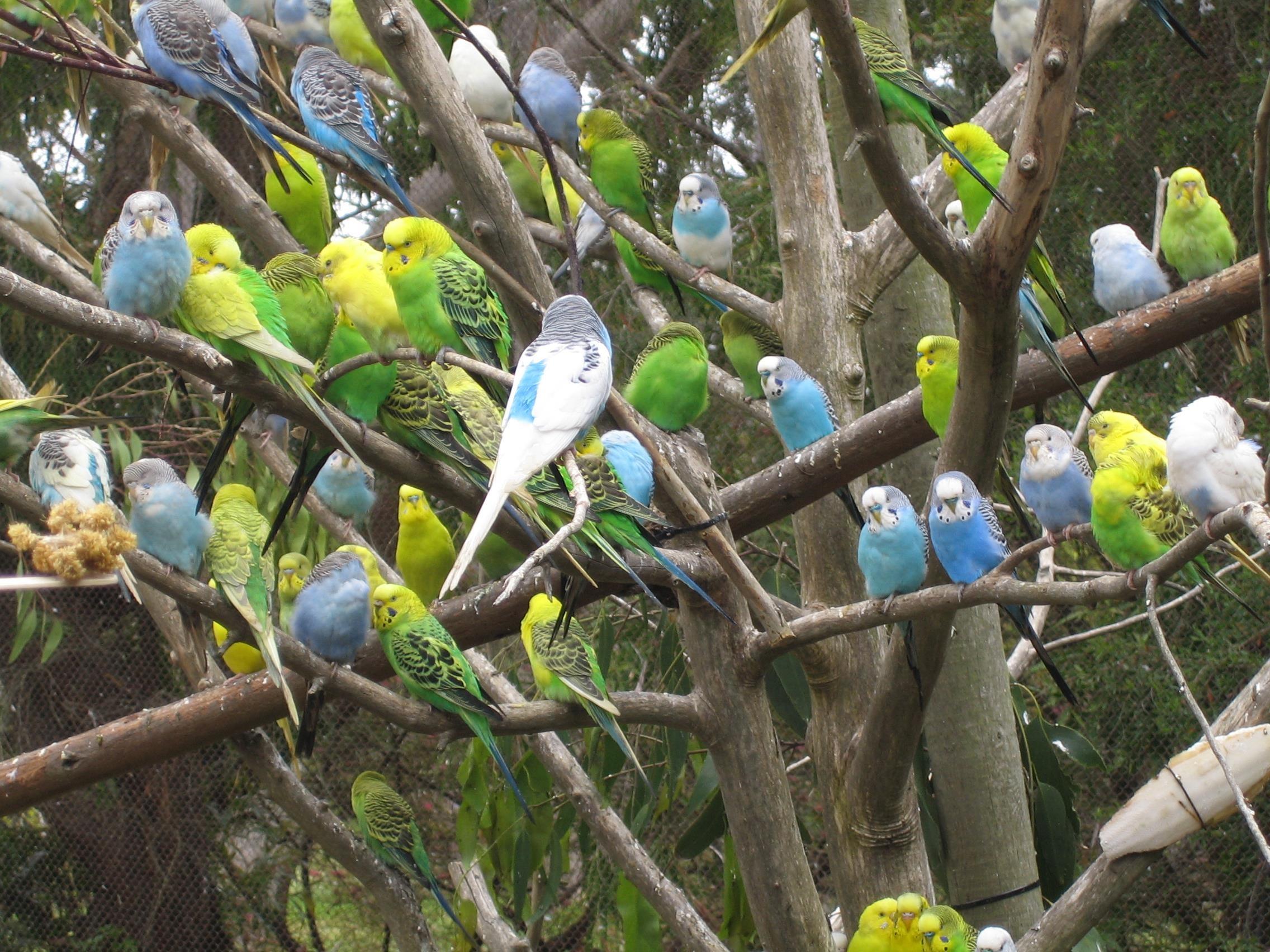 Muhabbet-kuşları_5