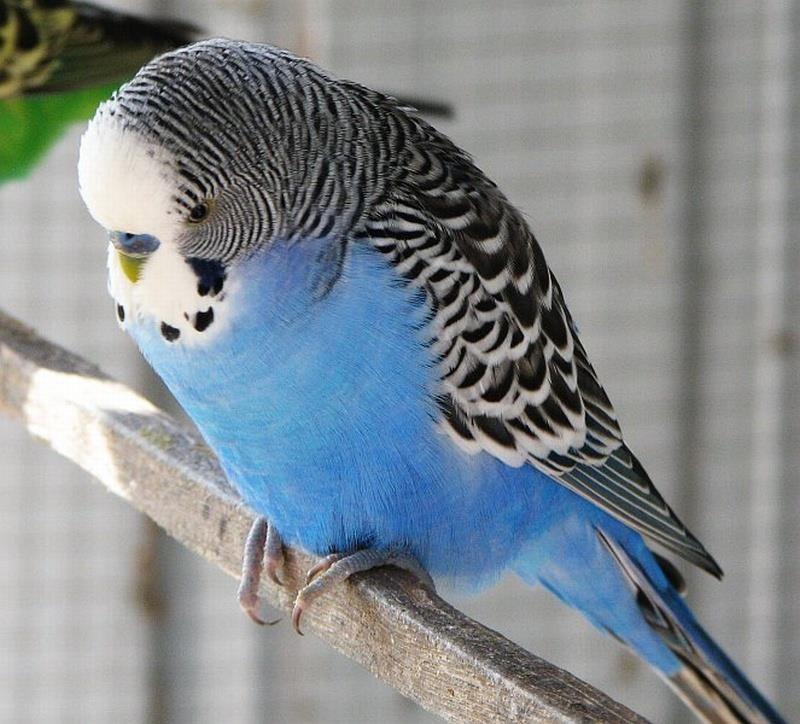 Muhabbet kuşları_6.jpg
