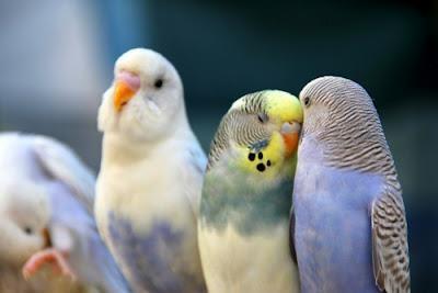 Muhabbet kuşları_7.jpg
