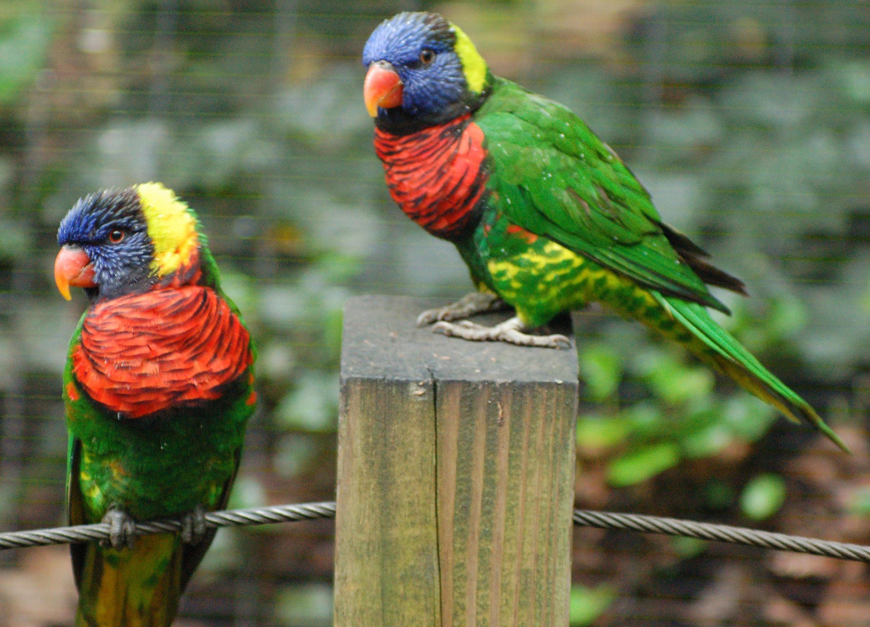 Papağan resimleri