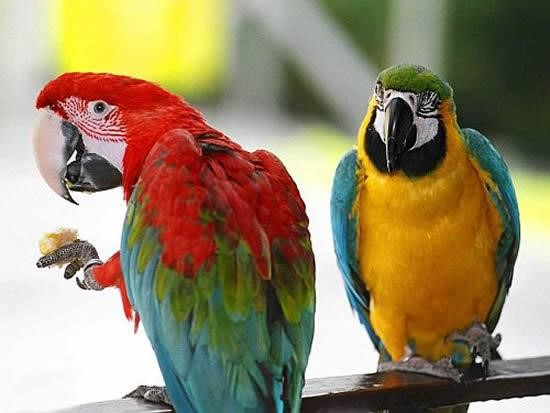 Papağan-resimleri_4