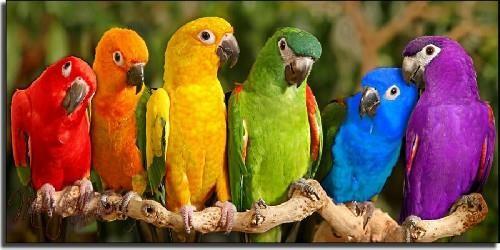 Papağan-resimleri_7
