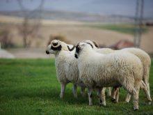 Sakız koyunu_2.jpg