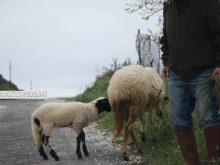 Sakız koyunu_4.jpg