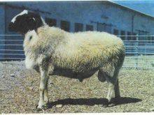 Sakız koyunu_7.jpg