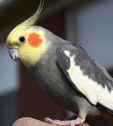 Sultan-Papağanı_7