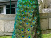Yeşil tavuskuşu  resmi