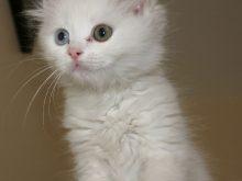 Van kedisi resimleri