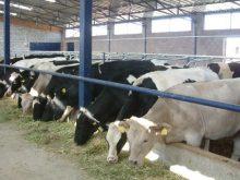 Anaç Sığır Desteklemesi 2011