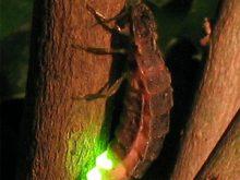 Ateşböceği