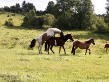 atlarda çiftleşme_3.jpg