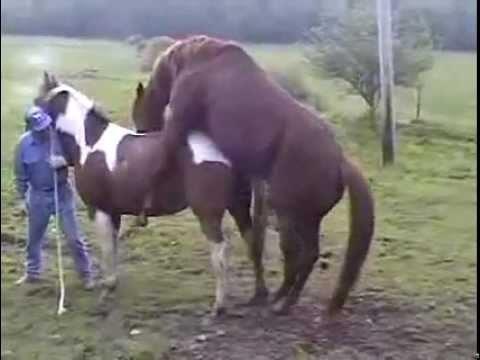 Atların Çiftleşmesi video  Yetişkin