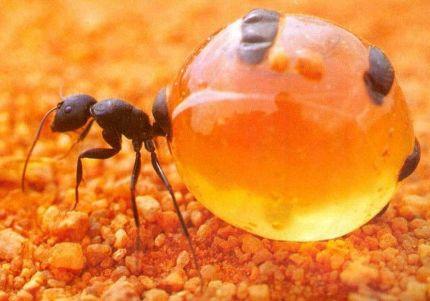 Avusturalyalı bal karıncası